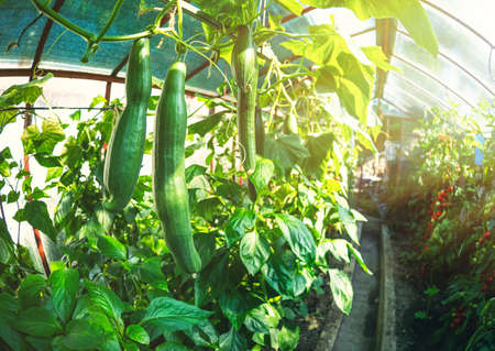 Fresh bunch of green ripe natural cucumbers growing on a branch in homemade greenhouse. Blurry background and copy space for your advertising text message. Stock Photo
