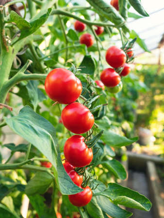 Ripe tomato plant growing in greenhouse. Fresh bunch of red natural tomatoes on a branch in organic vegetable garden. Blurry background and copy space for your advertising text message. 版權商用圖片
