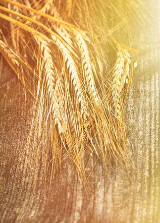 Golden spikes on wooden table background. Close up of ripe ears of barley plant.
