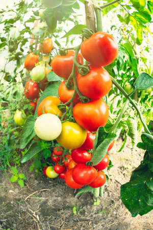 Ripe tomato plant growing in greenhouse. Fresh bunch of red natural tomatoes on a branch in organic vegetable garden. Blurry background and copy space for your advertising text message. Stockfoto