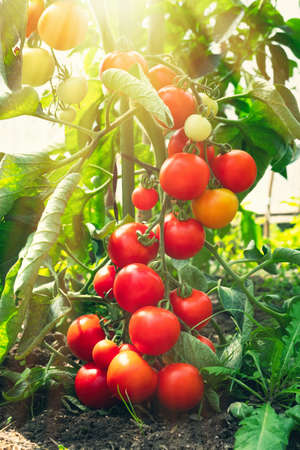 Ripe tomato plant growing in greenhouse. Fresh bunch of red natural tomatoes on a branch in organic vegetable garden. Blurry background and copy space for your advertising text message. Banque d'images