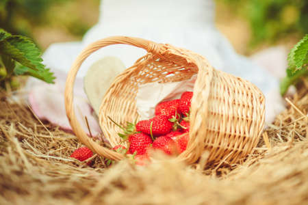 Basket of strawberries in a strawberry field