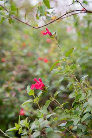 melissa: Melissa officinalis with flower