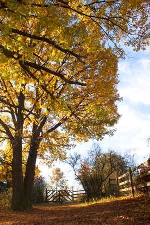 quercus robur: Oak-lined alley in autumn sunlight