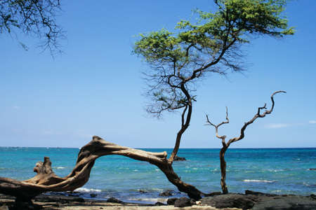knobby: Knobby tree on a Hawaiian beach Stock Photo