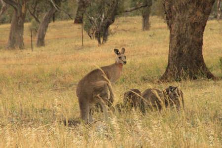 kangaroo mother: Mother kangaroo and joeys