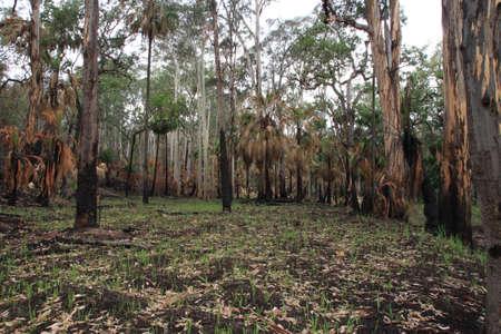 blazes: Burnt forest Stock Photo