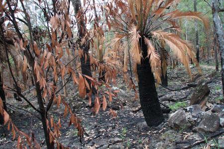 bushwalk: black tree trunks Stock Photo