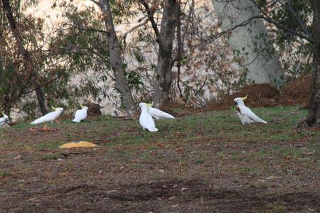 cockatoos: Cacatua beccare