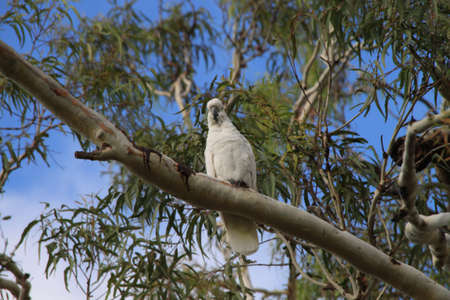 cockatoo in the tree photo
