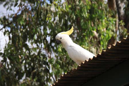 perching: Perching cockatoo Stock Photo