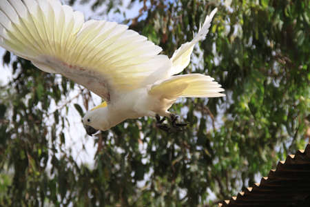 Cockatoo spreading taking flight