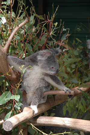 Koala on a branch photo