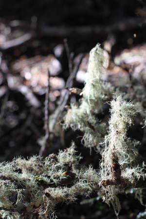 natural process: Moss growing on a stick
