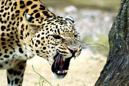Leopard with jaws open