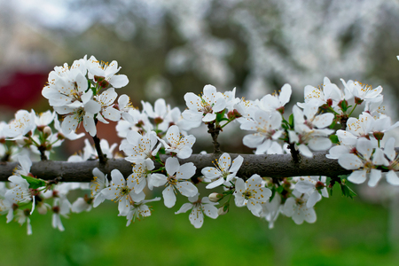 Beautiful cherry tree branch with white blossom flowers in spring time on the green blurred background