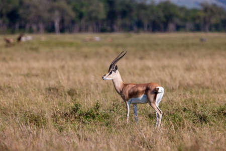 david brown: Thomsons Gazelle Stock Photo