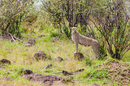 Cheetah using mound for lookout photo