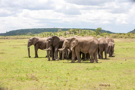 encircling: Herd of Elephants encircling young calves Stock Photo