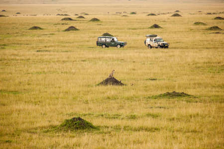 Cheetah sitting on mound with safari vehicles in background photo