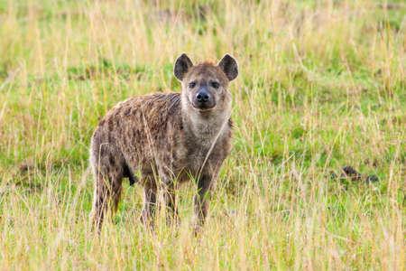 Spotted Hyena Standard-Bild