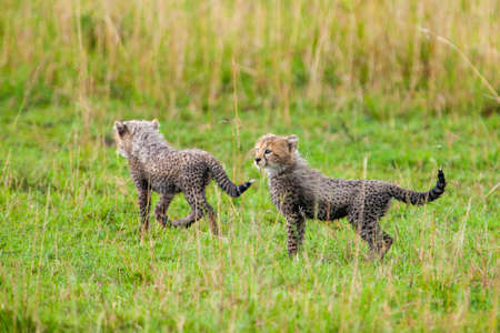 Cheetah Cubs photo