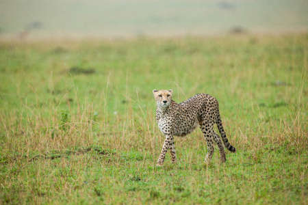 Cheetah walking through savannah photo