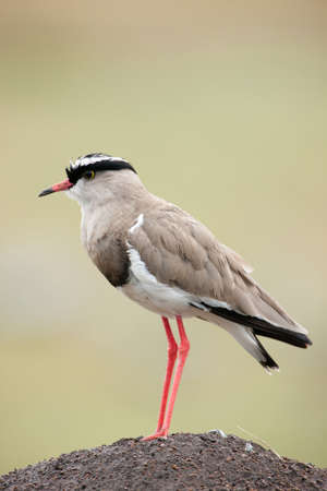 lapwing: Crowned Lapwing Stock Photo