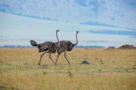 Pair of Ostriches walking across plains of the Masai Mara