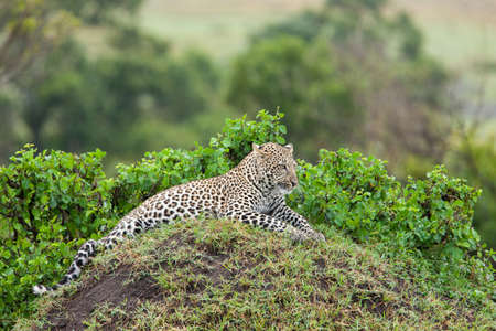 Leopard on mound resting and keeping lookout for prey and predators photo