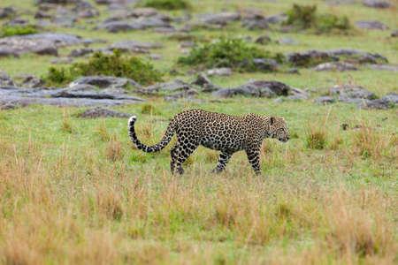 Leopard walking through grass photo