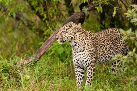 Leopard emerging from undergrowth photo