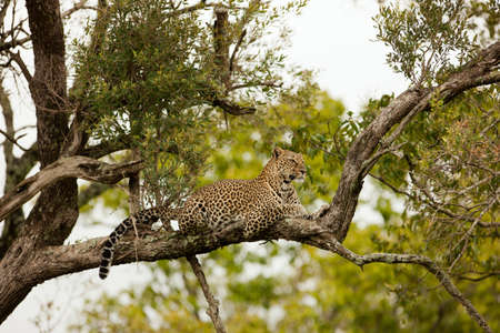 game reserve: Leopard in Tree