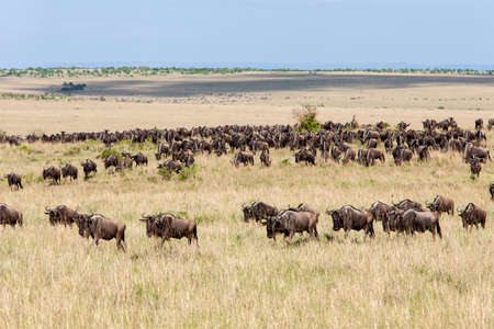 Herd of Wildebeest during Great Migration photo