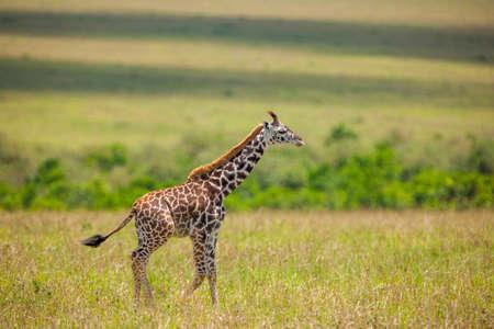 Young Giraffe photo