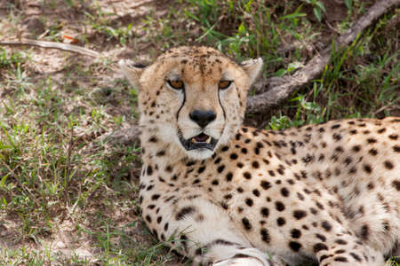 Cheetah resting under bushes photo