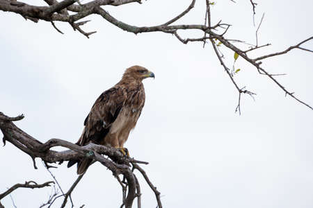 david brown: Steppe Eagle