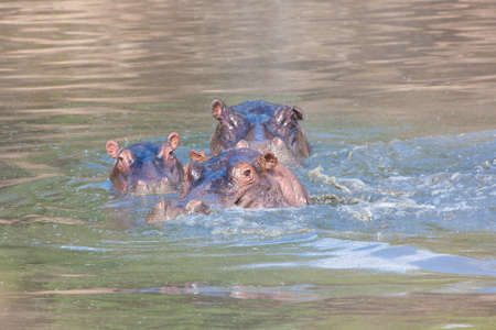 gaping: Family of Hippos in river Stock Photo