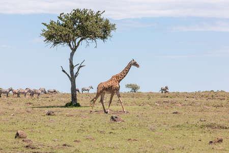 Giraffe walking past Acacia Tree photo