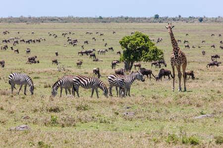 Giraffe and Zebras photo