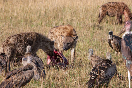 Hyenas eating prey, watched by Griffon Vultures