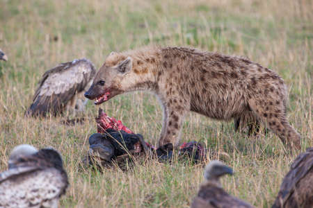 david brown: Hyena eating prey