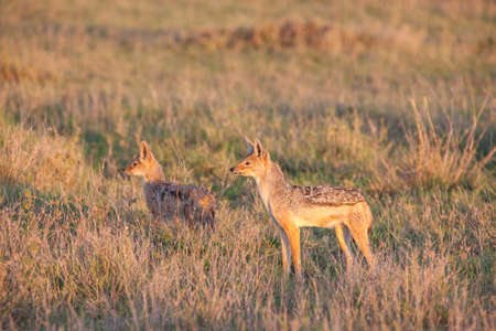 Jackal and cubs at dawn photo