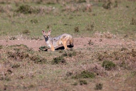 Juvenile black-backed jackal at den photo