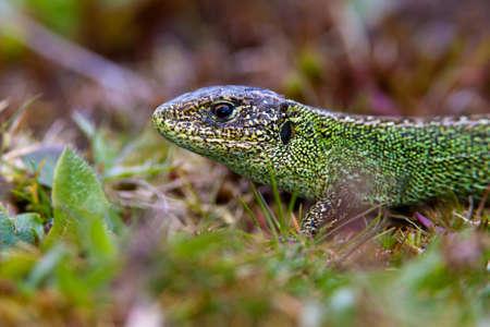 Common Lizard Stock Photo - 24878651