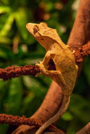 crested gecko: Crested Gecko