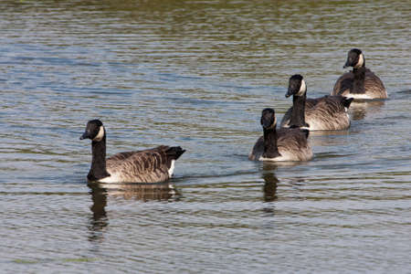 david brown: Canada Geese
