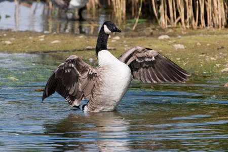 david brown: Canada Goose flapping wings
