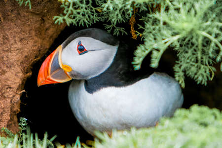 burrow: Puffin at entrance to burrow