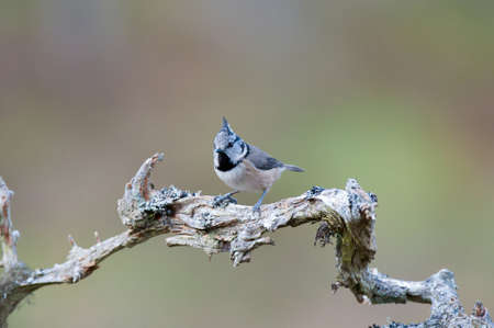 crested: Crested Tit